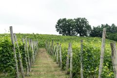 Weinberge in den Hügeln nahe ` Monticello d alba, Piemont - Italien Stockfotos