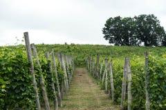 Weinberge in den Hügeln nahe ` Monticello d alba, Piemont - Italien Lizenzfreies Stockfoto