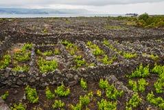 Weinberge der Azoren lizenzfreie stockbilder