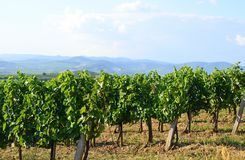 Weinberge im Abhang nahe Tokaj-Stadt, Ungarn Stockfoto
