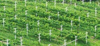 Weinberge, minimale Ackerbau-Praxis in der Vogelschau Stockfotos