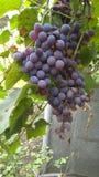 Weinberge mit großen Weintrauben und Laub stockbilder
