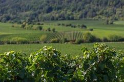 Weinberge in Rheinland Pfalz Lizenzfreie Stockfotos