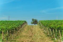 Weinberge und Baum unter der Sonne Lizenzfreie Stockbilder