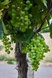 Weinberge und junge Trauben des Grüns in Moray Lizenzfreie Stockfotos