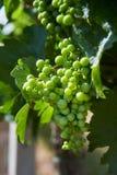 Weinberge und junge Trauben des Grüns in Moray Stockfotografie