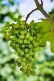 Weinberge und junge Trauben des Grüns in Moray Stockfoto