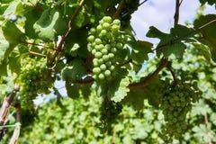 Weinberge und junge Trauben des Grüns in Moray Lizenzfreie Stockbilder