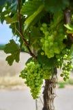 Weinberge und junge Trauben des Grüns in Moray Lizenzfreies Stockfoto