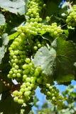 Weinberge und junge Trauben des Grüns in Moray Stockbild