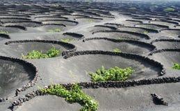 Weinberge unter vulcano Stockfoto