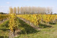 Weinberge von Loire Valley Stockfoto