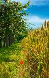 Weinberge zerteilen und Teil des Weizenfeldes Stockbild