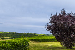 Weinbergfeld Bordeaux Frankreich Stockbilder