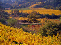 Weinberglandschaft im Herbst Lizenzfreies Stockfoto