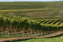 Weinberglandschaft mit den Reihen des Weinstocks wachsend auf Rolling Hills Stockfotografie