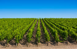 Weinberglandschaft nahe Bordeaux, Frankreich Stockfoto