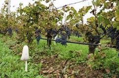 Weinbergreihe mit Merlot gruppiert sich an einem bewölkten Tag während der Rebernte in Bulgarien Selektiver Fokus Stockfotos