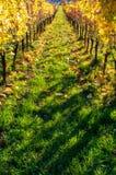 Weinbergreihen im Herbst nach Ernte lizenzfreies stockfoto