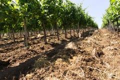Weinbergreihen am sonnigen Tag Stockfoto