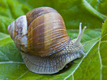 Weinbergschnecke royalty free stock photography