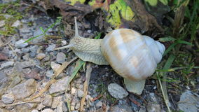 Weinbergschnecke Stock Photo