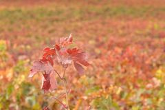 Weinblätter Lizenzfreie Stockfotos