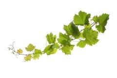 Weinblätter lokalisiert auf Weiß Lizenzfreie Stockfotos