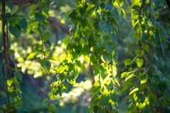 Weinblätter morgens Stockfoto