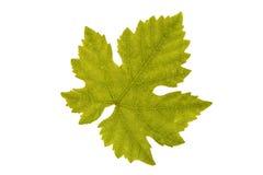 Weinblatt auf weißem Hintergrund stockfotos