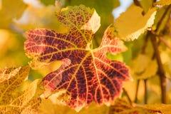 Weinblatt im Herbst an einem sonnigen Tag lizenzfreies stockfoto