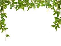 Weinblätter mit dem kleinen Blumenrahmen lokalisiert Stockbild