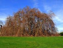 Weinende Buche-Baum Lizenzfreie Stockbilder