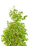 Weinende Feige (Ficus Benjamina) Lizenzfreies Stockbild