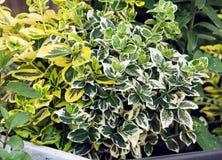 Weinende Feige (Ficus benjamina), Gartenarbeitthema Lizenzfreies Stockfoto