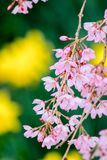 Weinende Kirschblüten an Funaoka-Schloss ruinieren Park, Shibata, Miyagi, Tohoku, Japan im Frühjahr Lizenzfreies Stockfoto