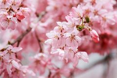 Weinende Kirschblüten an Funaoka-Schloss ruinieren Park, Shibata, Miyagi, Tohoku, Japan im Frühjahr Stockbilder