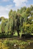 Weinende Weiden und Lilie Stockfotos