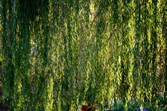Weinende Willow Branches Stockfoto