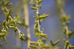 Weinende Willow Seeds In The Spring-Zeit lizenzfreie stockfotografie