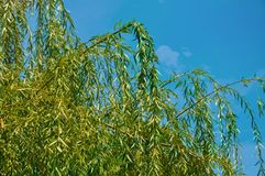 Weinende Willow Tree lizenzfreies stockbild