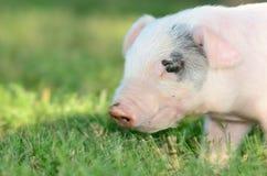 Weiner Pig Stock Image
