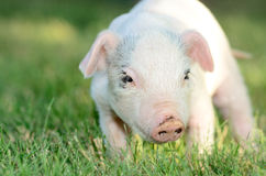 Weiner Pig Royalty Free Stock Images