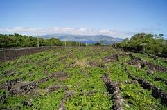 Weinfelder auf Pico Lizenzfreie Stockbilder