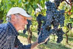 Weinhersteller, der Trauben überprüft lizenzfreie stockfotografie
