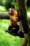 weinig aap Royalty-vrije Stock Fotografie