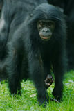Weinig aap Bonobo Royalty-vrije Stock Fotografie