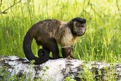 Weinig aap die zich op een tak bevinden Stock Fotografie