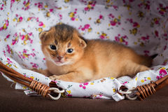 Weinig abyssinian katje in een mand Stock Fotografie