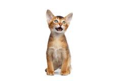Weinig Abyssinian Kitty Meowing op Geïsoleerde Witte Achtergrond stock foto's